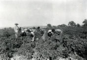 Circa 1940 - Harvesting peas on the Abaskin farm