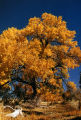 Autumn, Cottonwood Tree