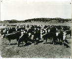 Fort Stanton Cattle