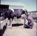 American Indian Rancher with Steer