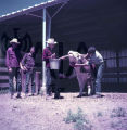 American Indian Racher feeding cattle