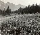A carpet of flowers in the Paradise Valley, Mount Rainier National Park