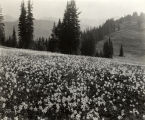 Avalanche lilies, Mount Rainier National Park