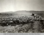Herd of sheep, Irrigation in Yakima Valley Album