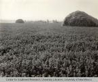 Alfalfa field, Irrigation in Yakima Valley Album