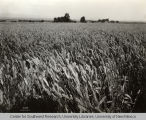 Irrigated wheat, Irrigation in Yakima Valley Album