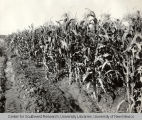 Corn, Irrigation in Yakima Valley Album