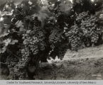 Flame Tokay grapes, Irrigation in Yakima Valley Album