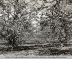 Fruit orchard, Irrigation in Yakima Valley Album