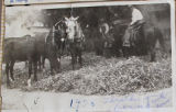 Bean thresher with horses
