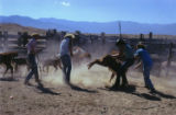 Roping Cattle with Lasso