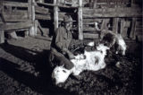 Waldo Cordova, branding cows at Cordova Ranch