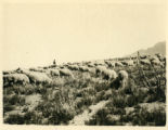 Landscape of many sheep grazing in high country