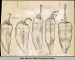Drawings of chile pods from New Mexico Experimental Station, Nos. 10-14