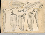 Drawings of chile pods from New Mexico Experimental Station, Nos. 1-9