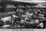 Dairy herd, Fort Stanton, New Mexico