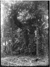Large tree on main pyramid before clearing, Quirigua, Guatemala