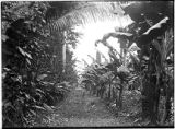 Trail along banana plantation on entrance to ruins, Quirigua, Guatemala