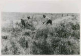 Men harvesting wheat, Zuni Pueblo, New Mexico