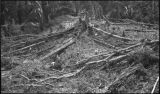 Archaeological site clearing at Quirigua, Guatemala