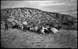 Threshing with goats, New Mexico