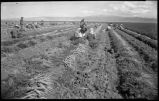 Carrot fields at Bluewater, New Mexico during World War II