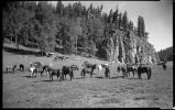 """Horses Grazing"", Los Alamos Ranch School, Los Alamos, New Mexico"
