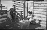 Boys with goats, Cordova, New Mexico