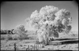 Cottonwood tree on fenceline, New Mexico