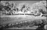 Cottonwood trees along river bank, New Mexico