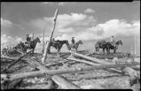 Horses and riders in deadfall pines, New Mexico