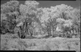 Cottonwood trees, New Mexico