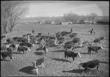 Herding cattle, Northern New Mexico