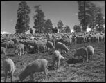 Sheep herd, New Mexico