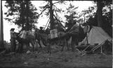 Packing burros in camp, New Mexico