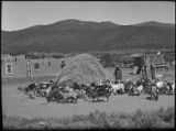 Threshing wheat with goats, Cordova, New Mexico