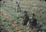 Navajo women harvesting carrots, New Mexico
