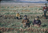 Harvesting carrots, New Mexico