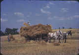 Men loading oats or wheat on wagon, New Mexico