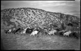 Herd of goats in pasture, Cordova, New Mexico