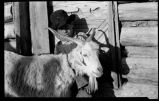 Goats in Cordova, New Mexico