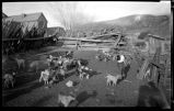 Goat herd in Cordova, New Mexico