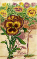 Drawing of pansies in pastels