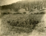 Our first field on the Rio De Las Vacas in June of 1899
