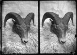 """Head of Rocky Mountain Sheep"""